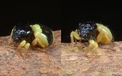 Bumblebee jumper (Omoedus ephippigera), Bokor Mountain, Cambodia