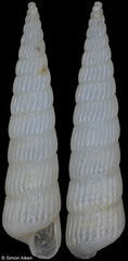 Turbonilla angelinagagliniae (Senegal, 8,9mm) F+++ €4.00 (specimens for sale are 8-9mm and are of the same quality as the specimen illustrated)