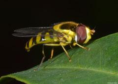 Hover fly (Syrphidae sp.), Fianarantsoa, Madagascar