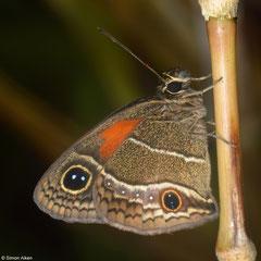 Brush-footed butterfly (Calisto batesi), La Cumbre, Loma del Puerto, Dominican Republic