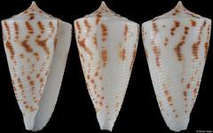 Conus lizardensis (Northern Territory, Australia, 29,2mm)