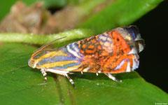 Metalmark moth (Choreutidae sp.), Lakxao, Bolikhamsai Province, Laos