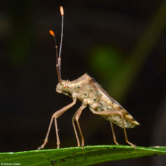 Leaf-footed bug (Coreidae sp.), Samal Island, Philippines