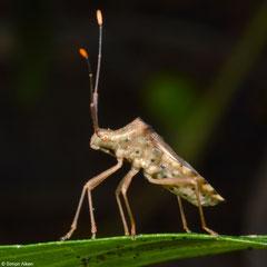 Leaf-footed bug (Coreidae sp.), Samal Island, Philippines