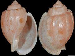 Austroharpa punctata (South Australia, 40,2mm)