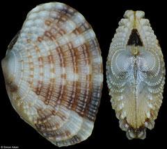 Timoclea subnodulosa (Philippines, 7,4mm, 6,5mm) F+++ €4.50