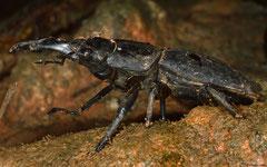 Giant stag beetle (Dorcus titanus), Lakxao, Bolikhamsai Province, Laos