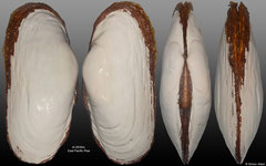 Calyptogena magnifica (East Pacific Rise, 188mm)