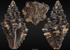 Engina maura (Pacific Panama, 21,5mm)