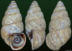 Madecataulus sp. nov. (Madagascar, 9,3mm)
