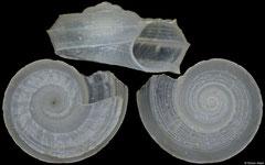 Circulus teramachii (Philippines, 3,5mm)