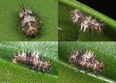 Ladybird larva (Coccinellidae sp.), Fianarantsoa, Madagascar