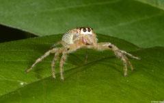 Jumping spider (Salticidae sp.), Broome, Western Australia