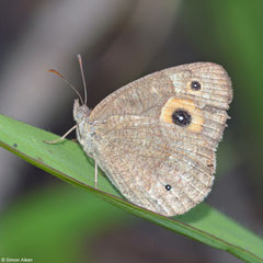 Brush-footed butterfly (Heteropsis turbata), Andasibe, Madagascar