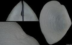 Serratina perplexa (Western Australia, 27,2mm)