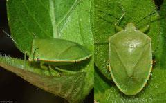 Southern green stink bug (Acrosternum hilare), La Cumbre, Dominican Republic