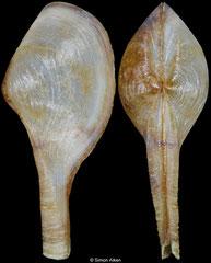 Cuspidaria prolatissima (Philippines, 16,6mm)