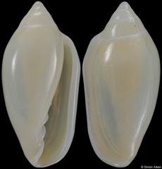 Prunum succineum (Florida, USA, 13,2mm)