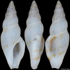 Otitoma porcellana (Philippines, 10,3mm)