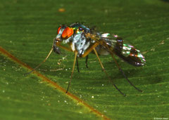 Green long-legged fly (Austrosciapus connexus), Perth, Western Australia