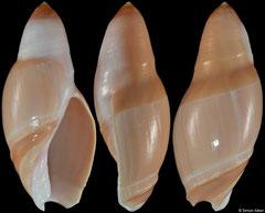 Amalda hinomotoensis (Vietnam, 42,9mm)