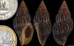 Engina cinis (Galápagos, 34,5mm)