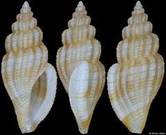 Cytharopsis sp. nov. (Philippines, 8,3mm)