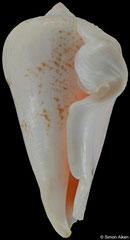 Conomurex decorus (Tanzania, 55,5mm) €2.80