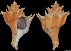 Forreria belcheri (California, USA, 96,3mm)