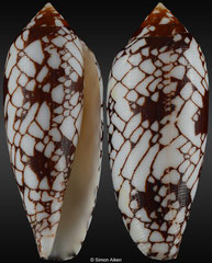 Conus michelcharlesi (Madagascar, 65,2mm)