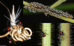 Shield bug (Pentatomidae sp.) nymphs and eggs, Broome, Western Australia