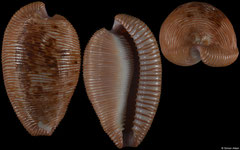 Cypraea capensis (South Africa, 27,3mm)