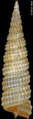 Clathropsis pulchella (Philippines, 6,4mm)