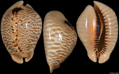 Cypraea mus form 'tristensis' (Caribbean Colombia, 56,2mm)