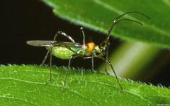 Mosquito bug (Helopeltis theivora), Nha Trang, Vietnam