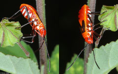 Cotton stainer (Dysdercus sp.), Balut Island, Philippines