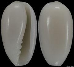 Volvarina monilis terverianum (Eritrea, 10,7mm)