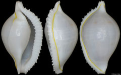 Serratovolva dondani (Philippines, 17,5mm)