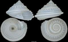 Calliotropis virginiae (Philippines, 10,5mm)