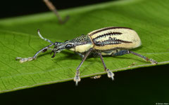 Citrus root weevil (Diaprepes abbreviatus), Polo, Pedernales peninsula, Dominican Republic