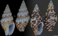 Glyptanachis hilli (Pacific Mexico, 7,2mm, 7,3mm)