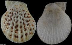 Coralichlamys madreporarum (Western Australia, 21,7mm)