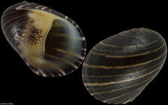 Nerita patula form 'beaniana' (Philippines, 13.3mm) (specimens for sale are w/o and are of the same quality as the specimen illustrated) 14-15mm specimens €10.50, 12-13mm specimens €8.00