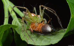 Lean lynx spider (Oxyopes macilentus), Balut Island, Philippines