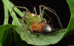 Lean lynx spider (Oxyopes macilentus), Balut Island, Philippines