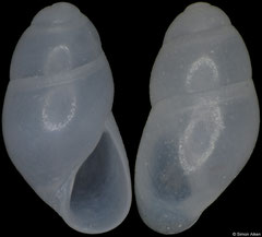 Stilapex cookeanus (Pacific Mexico, 3,2mm) F++ €12.00