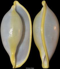 Xandarovula xanthochila (China, 27mm)