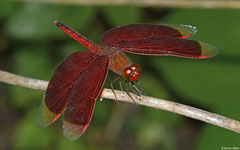 Grasshawk dragonfly (Neurothemis terminata), Siquijor, Philippines