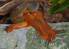 Hemiplecta pluto (L105 between Chomthong and Pakha, Bolikhamsai Province, Laos)