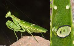 Jewelled flower mantis  (Creobroter gemmatus), Lakxao, Bolikhamsai Province, Laos